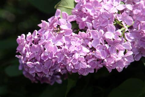 flores lilas imagenes flores de lilas