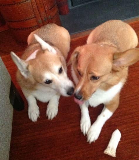 adopt a corgi puppy thorin and olive 2 rescue corgis from new jersey corgi dogs