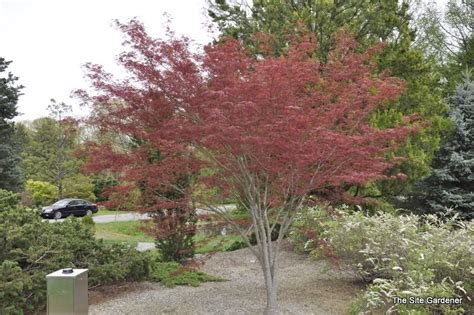maple tree growing conditions acer palmatum hubbs willow hess landscape nursery finleyville pennsylvania
