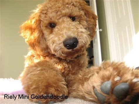 f1b more golden retriever best 25 f1b goldendoodle ideas on