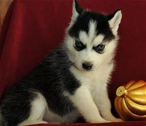 siberian husky puppies for sale mn mn beautiful siberian husky puppies