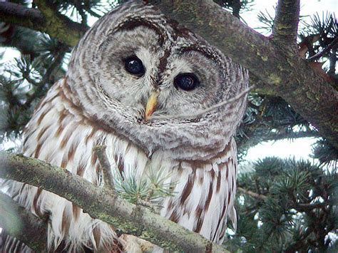 barred owl sounds   owl