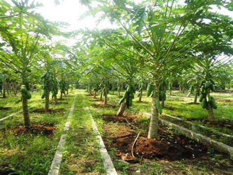Benih Pepaya Calina Pkbt jual benih pepaya calina ipb 9 asli 100 dari ipb