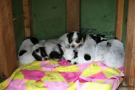 newborn blue heeler puppies blue heeler puppy aww