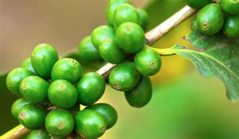 best green coffee ranking the best green coffee bean extract supplements of
