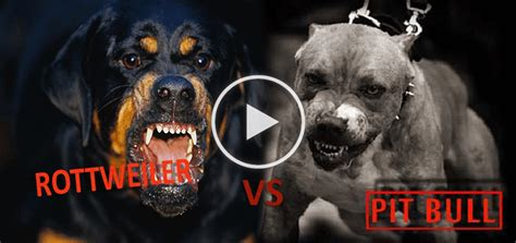pitbull vs rottweiler pitbull vs rottweiler tug of war who will win doggies care