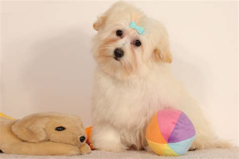 havanese bark a lot havanese puppies breed information puppies for sale