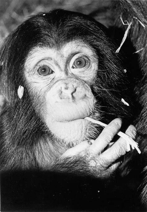 chimpanzee | Oregon Zoo