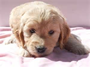 mini goldendoodles vermont our mini goldendoodles about farm updated 11 13 17