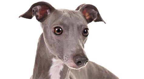 grey hound italian greyhound breed information american kennel club