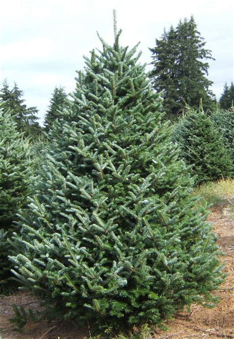 fraser fir coniferous forest