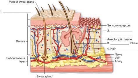 skin section diagram image gallery skin anatomy