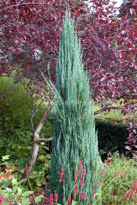 narrow columnar evergreen shrubs juniperus virginiana