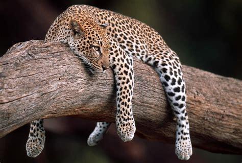 Imagenes Fondo De Pantalla Leopardo   fondo pantalla leopardo sobre arbol
