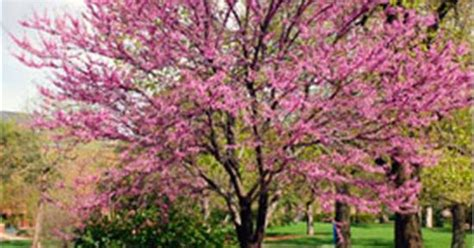 eastern redbud cercis canadensis spectacular rosy pink blossoms that appear in april great