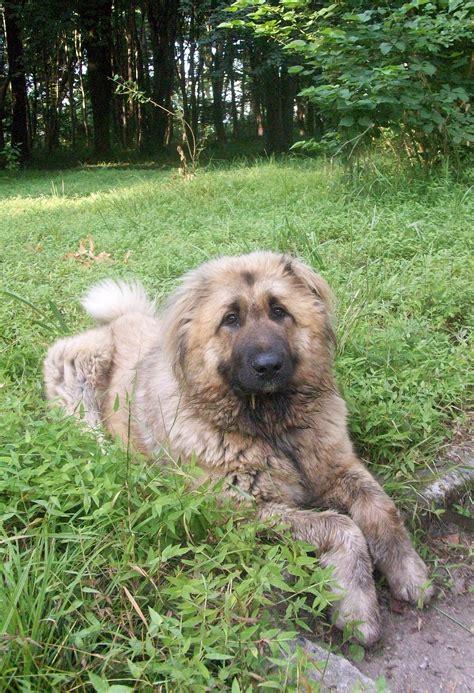caucasian ovcharka puppies tibetan mastiff caucasian ovcharka breeds picture
