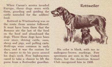 history of rottweilers rottweiler history breeds picture
