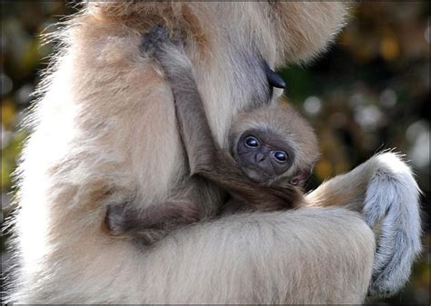 gibbon lar dudley zoological gardens