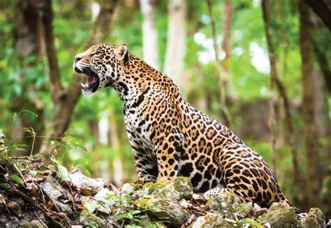 imagenes jaguares selva quintana roo holds the largest jaguar population