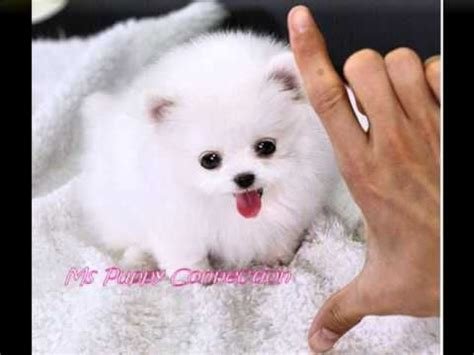 pom pom pomeranian for sale 25 best ideas about pomeranian puppies for sale on teacup pomeranian