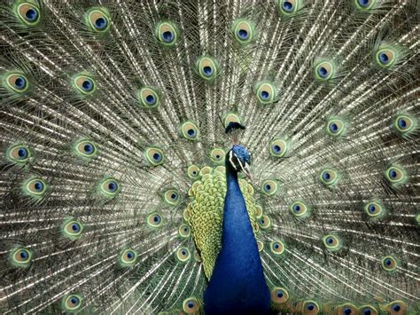 peacock blue desktop nature wallpaper indian blue peacock free