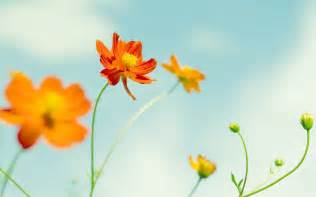 Wallpaper Dinding Bunga Cosmo 805 4 cosmos flowers wallpapers hd wallpapers id 11325