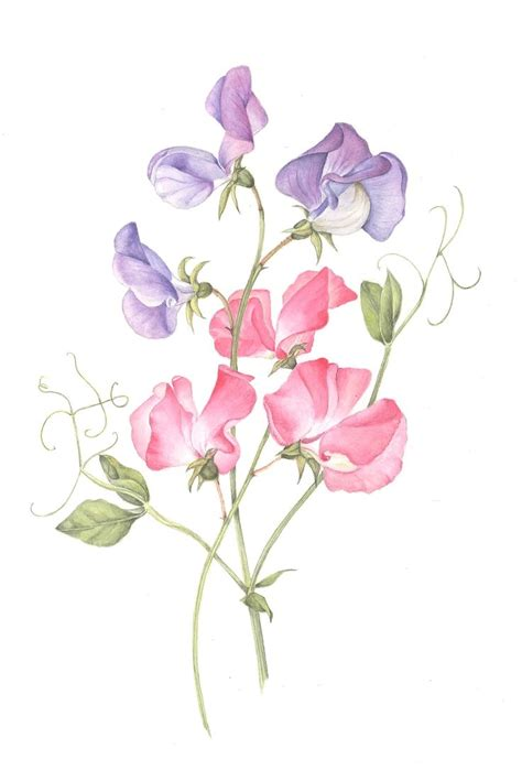 sweet pea flower tattoo sweet pea botanical illustration sweet peas by christine