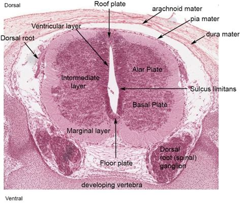 Spinal Cord Cross Section Slide by Neural Spinal Cord Development Embryology