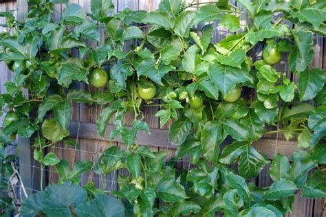 Passion Fruit Climbing Plant - 5 best tropical fruits to grow in your backyard plant instructions