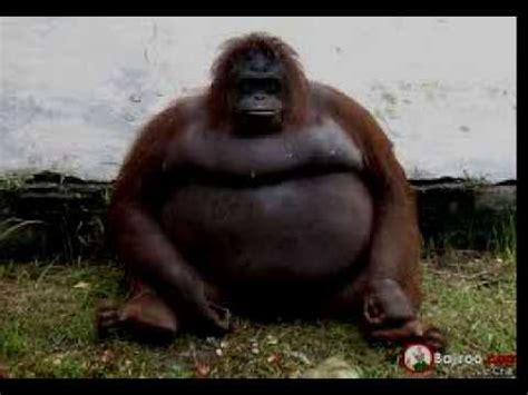 gordos zulianosd big fat com fat gorilla youtube