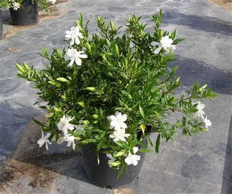 Gardenia Proof Gardenia Proof Proof Gardenia From Greenleaf