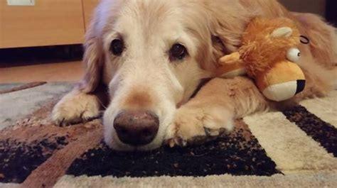 why is my golden retriever puppy so hyper golden retriever rescue resource golden retriever adoptions toledo