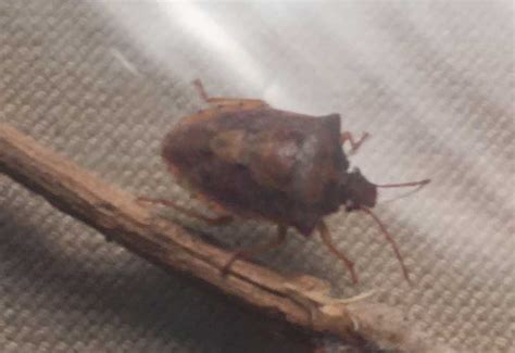 Bed Bugs Smell by Stink Bugs And Shield Bugs Archives What S That Bug