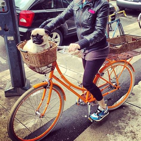 pug bike pin by jeanne beacom on flat faced dogs