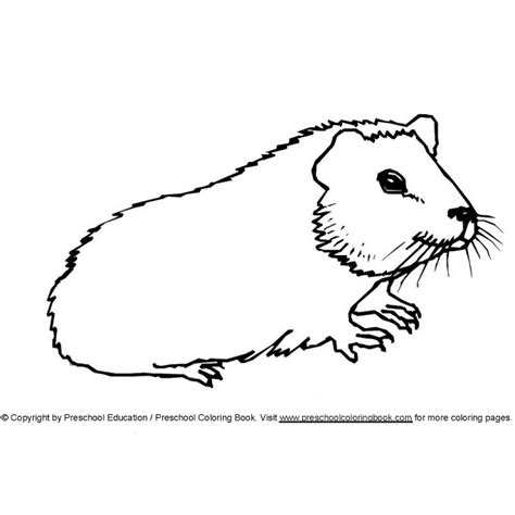 Free Coloring Pages Of Guinea Pig Guinea Pig Colouring Pages