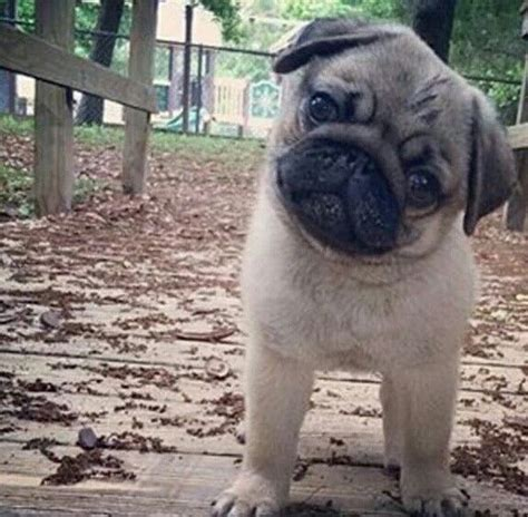 cheap pugs for sale near me 17 best images about pugs on pug can i eat and puppys