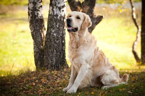 golden retriever vaccination cost golden retrievers are the happiest friendliest most loving dogs breeds picture
