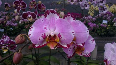 Trubus Info Kit Phalaenopsis p lianher happy song orchis 01 phalaenopsis orchis floriculturing inc
