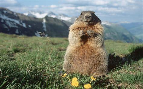 Tëx Giornata Della Marmotta L Inverno Sar 224 Ancora Lungo