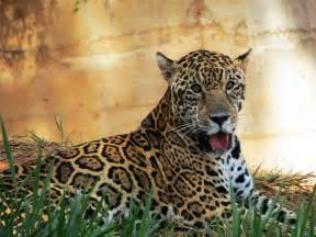 What Is The Size Of A Jaguar Ciencia Hoje