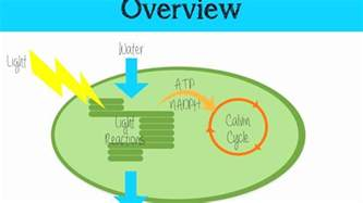 light independent the light independent reaction of photosynthesis
