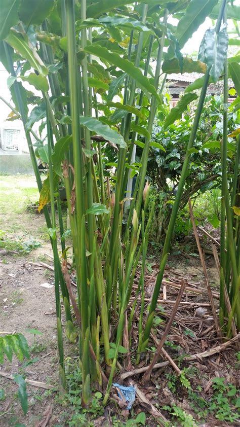 warisan petani tanaman pokok kantan