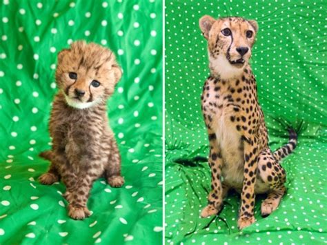 baby cheetah cub to become part of busch gardens cheetah kasi cheetah best cheetah image and photo hd 2017