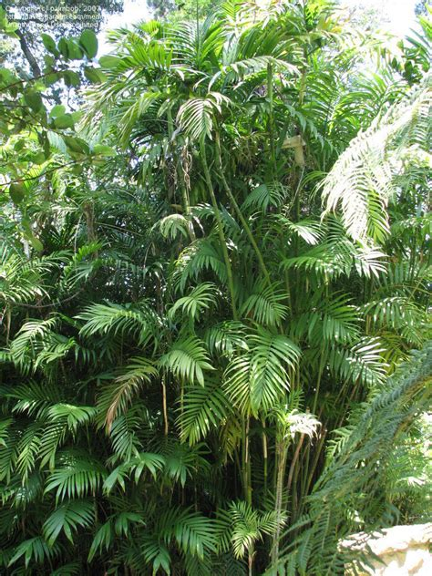 Areca Palm plantfiles pictures costa rican bamboo palm chamaedorea