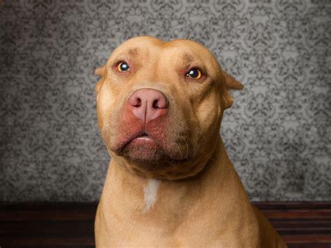 reasons  buy  american pit bull terrier