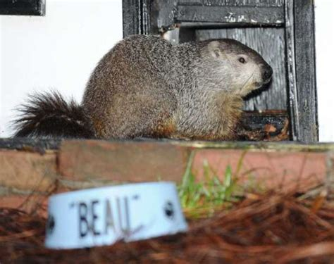 groundhog day yellow river ranch groundhog wars rodents diverge on winter forecast times