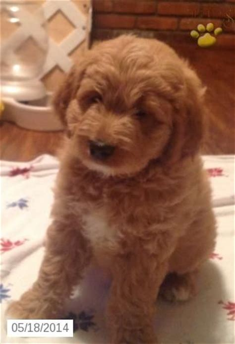 mini labradoodles ny 107 best images about goldendoodles on