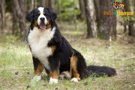 bernese mountain puppies cost bernese mountain breed information buying advice photos and facts pets4homes