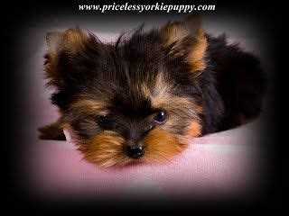yorkies for sale in michigan the 25 best teacup terrier ideas on teacup teacup