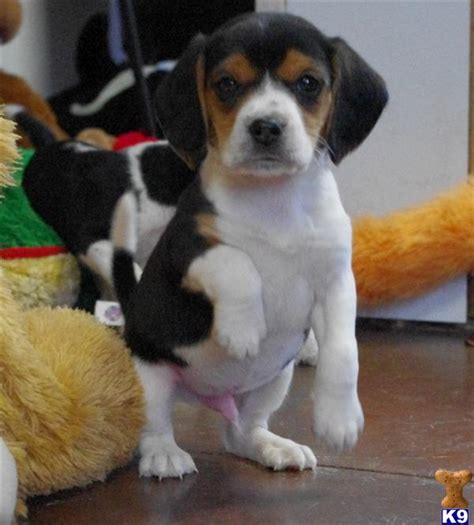 beagle puppies for sale in illinois beagle puppies for sale in southern illinois gnewsinfo
